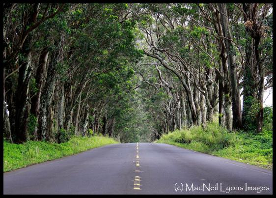 Koloa Tree Tunnel - (c) MacNeil Lyons Images
