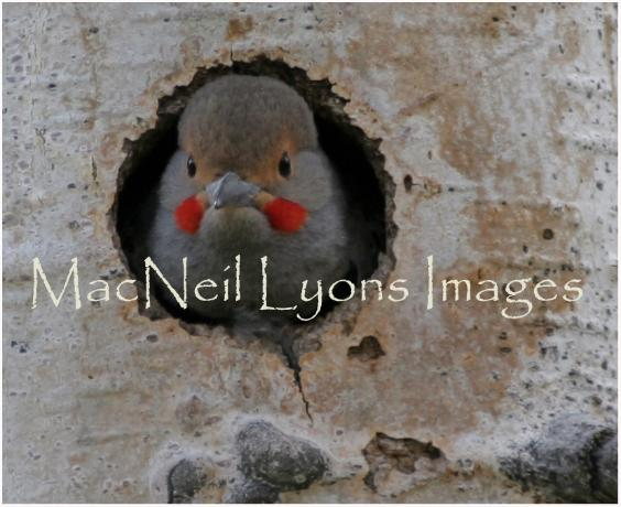 Flicker_Nest_Copyright_MacNeil_Lyons_Images