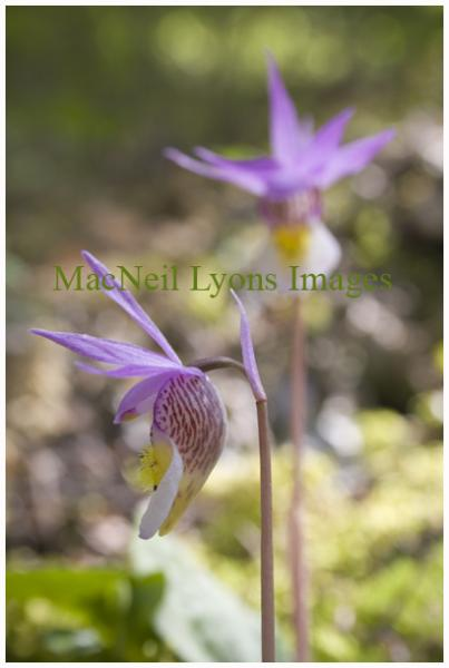 Orchids - Copyright MacNeil Lyons Images