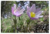 Pasque_Flower_Copyright_MacNeil_Lyons_Images