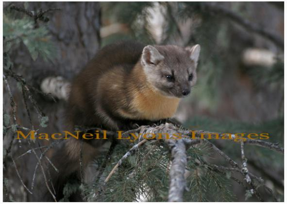 PineMarten - Chillin' - Copyright MacNeil Lyons Images