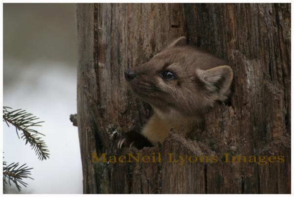 PineMarten - In To Something - Copyright MacNeil Lyons Images