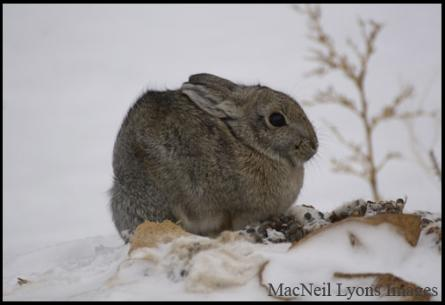 Mountain Cottontail - Copyright MacNeil Lyons Images