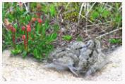 Rock_Sandpiper_Chicks_Copyright_MacNeil_Lyons_Images
