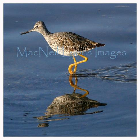 Yellowlegs_Copyright_MacNeil_Lyons_Images