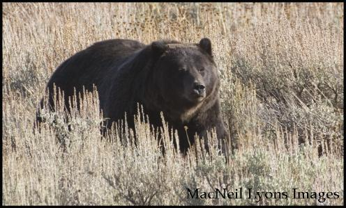 Mary Bay Grizzly - Copyright MacNeil Lyons Images