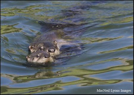 River Otters - Copyright MacNeil Lyons Images