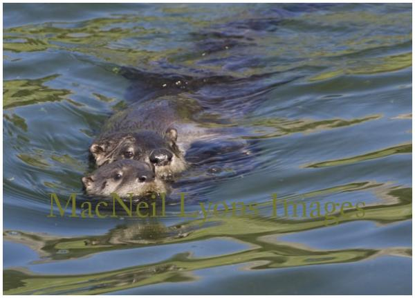Trout Lake Otters - Copyright MacNeil Lyons Images