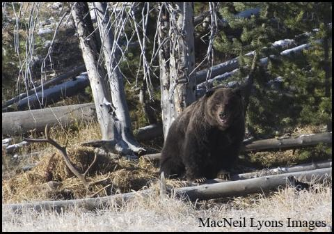 Twin Lake Grizzly Bear - Copyright MacNeil Lyons Images