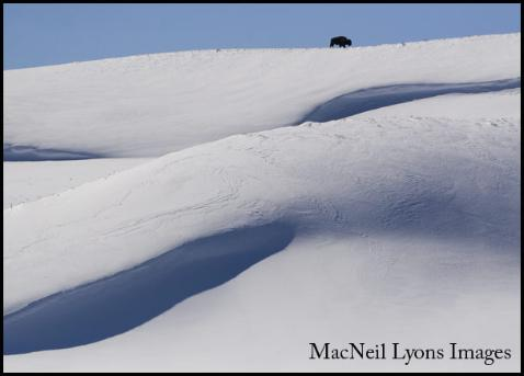 Bison on a Snow Cornice, Hayden Valley, YNP - Copyright MacNeil Lyons Images